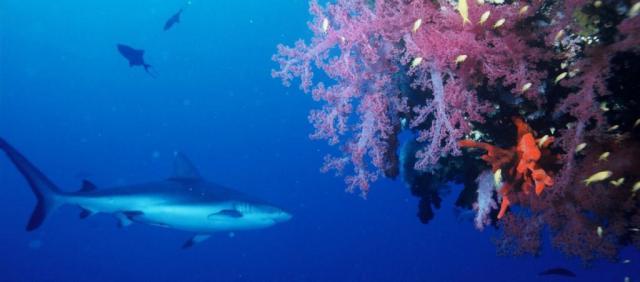Esemplare di squalo grigio